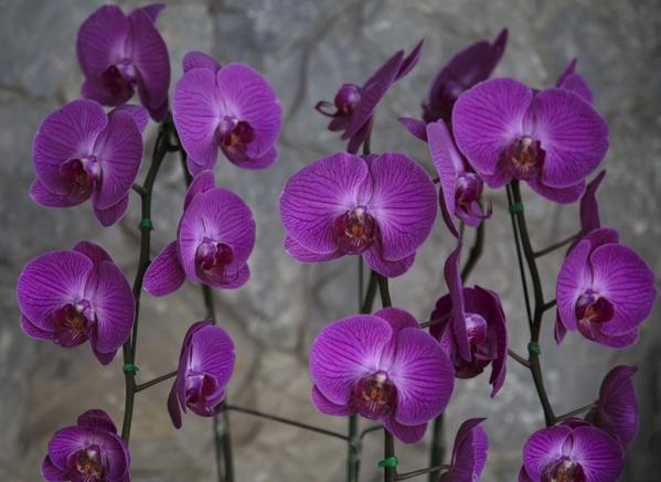 bangkok-orchids-33
