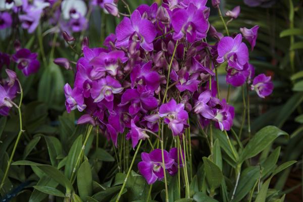 bangkok-orchids-38