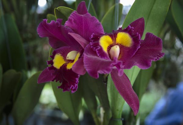 bangkok-orchids-4